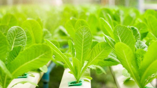 Produtor pode controlar as características das hortaliças no cultivo hidropônico